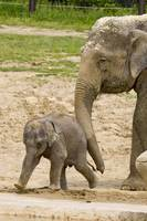 Baby elephant Beko plays tag with Phoebe
