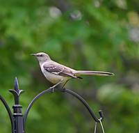 Beautiful Mocking Bird