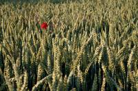 Red in the crops