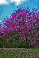 Red Bud Tree