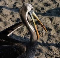 Pelican Paracas by Anne Harai
