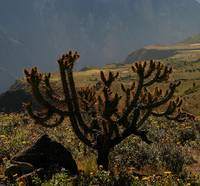 Cactus in Colca Canyon