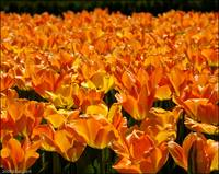 Orange Tulips - Longwood Gardens
