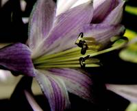 Hosta Bloom 2: My Front Yard