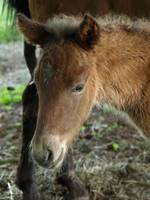 Icelandic horse Filly