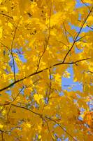 Golden Leaves Under Blue Sky