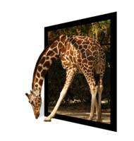 giraffe stepping out of frame