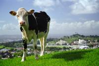 Auckland Cow