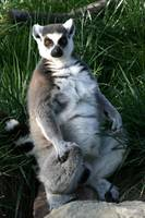 Posed Lemur