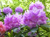 Bunches of Azaleas