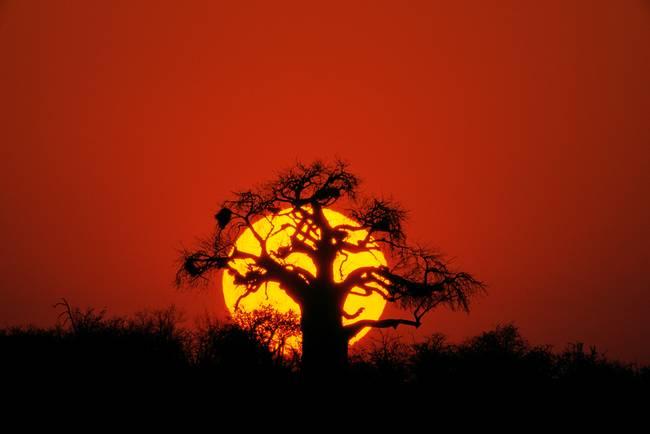 Stunning Quot Baobab Tree Quot Artwork For Sale On Fine Art Prints