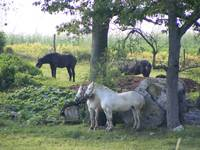Peaceful Percherons