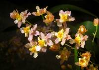 Twinkle Orchid