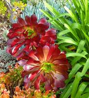 Aeoniums in Succulent Garden 1