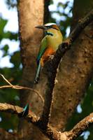 Turquose-fronted Motmot