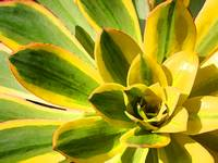 Succulent Close-Up 1