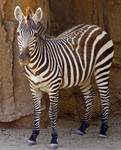 Zebra Wild Animal Picture