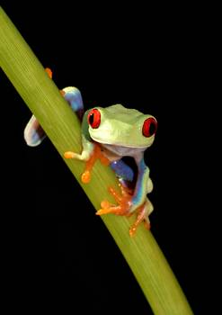 red eyed tree frog by artist paulhalfmann (Paul Halfmann). Giclee prints, art prints, animal art, frog art, a colorful frog on a stem; from an original picture, photograph, photography