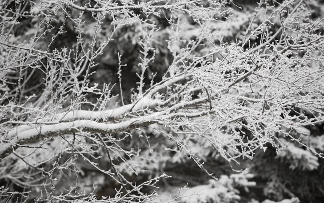 Fresh Snow on Branches