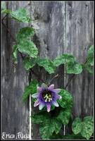 passionflower against the grain
