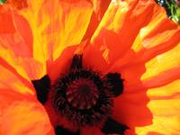 Red Ragged Poppy
