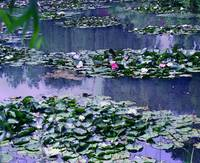Giverny Waterlilies