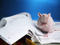 My rat ate my homework