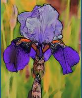 Colorful Iris