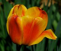 Orange Striped Tulip