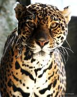 Big Cat Series - Jaguar