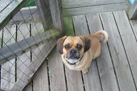 Puggle on the porch