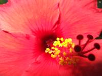 California Red Hibiscus