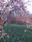 Ancient Apple Tree Arch