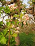 Apple Blossoms at Sunset