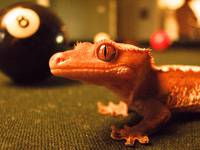 8-Ball Gecko