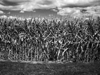 The Cornfield Harvest