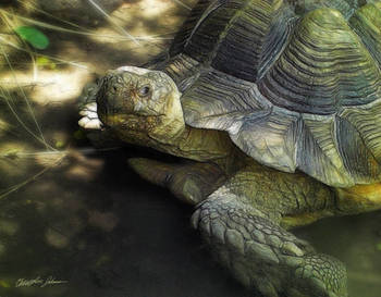 Yellow-footed Tortoise 1