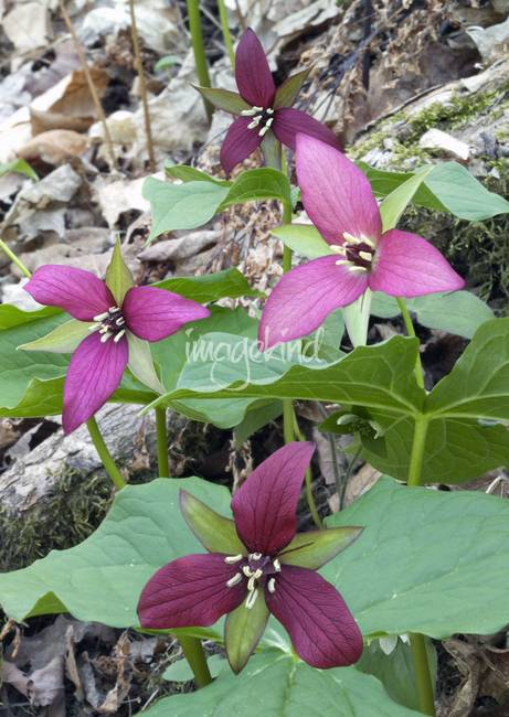 Purple Trillium Group By Michael Stephen Wills