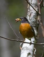 Mother Robin With Worm