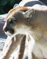 Big Cat Series - Cougar