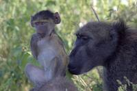 Chacma Baboon youngster and Male