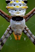 Golden Orb Spider (Nephila pilipes) (close up)