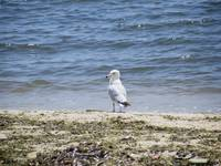 Chesapeake Bay Seagull