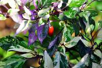 Pretty Purple Hot Pepper Plant
