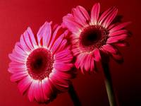 Red Gerbera Daisies Sensational