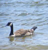 Swimming Goose