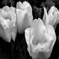 Tulips in Black and White by Patricia Schnepf