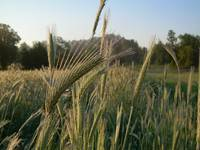 Dew on the Rye