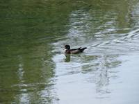Wood Duck Photo 2 of 3