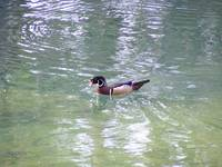 Wood Duck. Photo 3 of 3